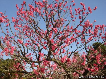 ritsurin park plum blossom 1