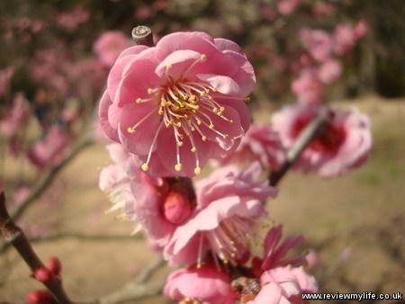 ritsurin park plum blossom 2