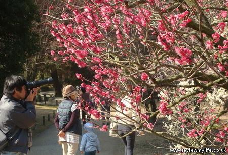 ritsurin park plum blossom 3
