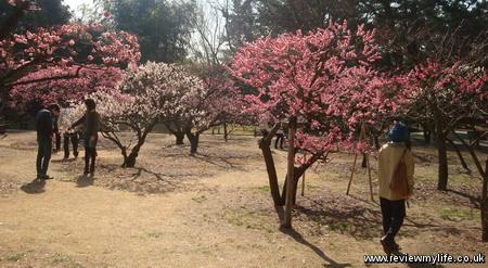 ritsurin park plum blossom 4