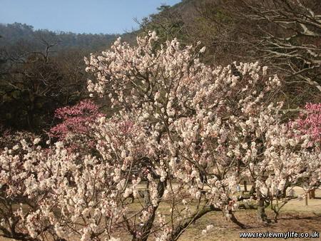 ritsurin park plum blossom 5