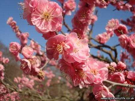 ritsurin park plum blossom 6