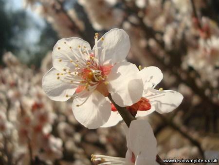 ritsurin park plum blossom 8