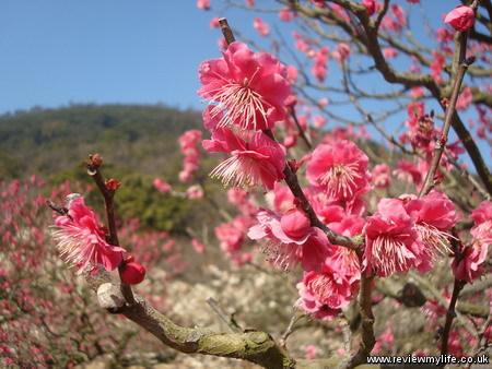ritsurin park plum blossom 9