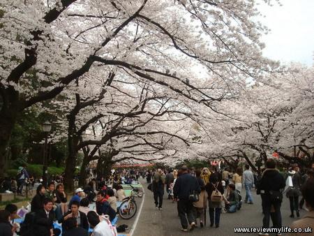 japan cherry blossoms 10