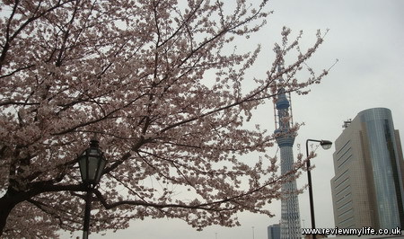 japan cherry blossoms 2