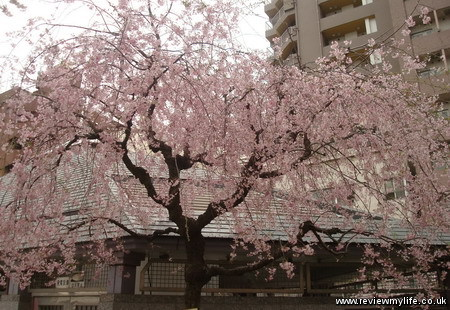 japan cherry blossoms 3