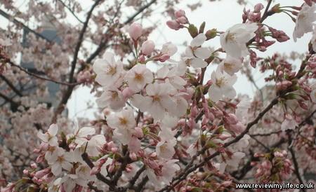 japan cherry blossoms 4