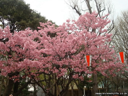 japan cherry blossoms 5