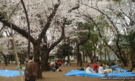 japan cherry blossoms 6
