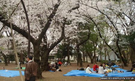 japan cherry blossoms 6