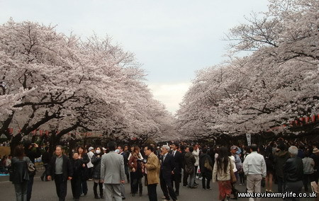 japan cherry blossoms 7