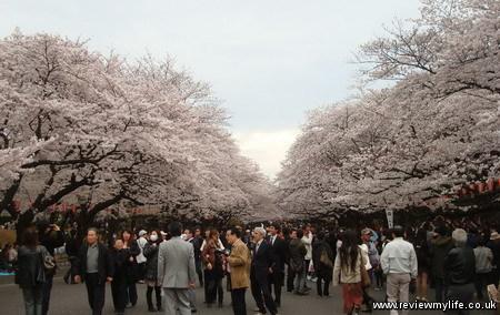 japan cherry blossoms 7