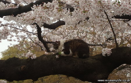 japan cherry blossoms 8