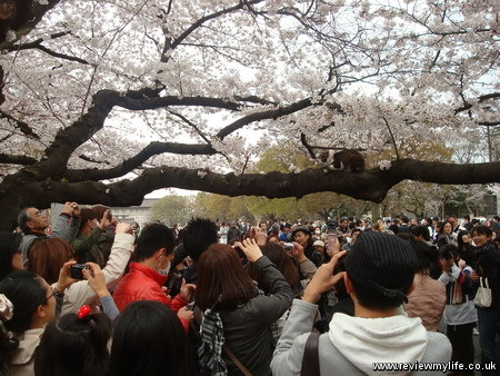 japan cherry blossoms 9